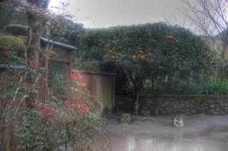 'Sakurajima-Ko-Mikan' at Chiran, Kagoshima Pref. on DEC 17, 2013 (3).jpg