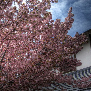 Sakura-at-Mashike-2011MAY05.jpg